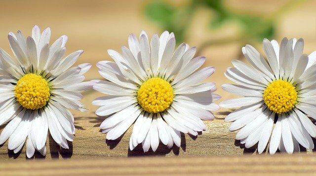 daisy-2296829_640
