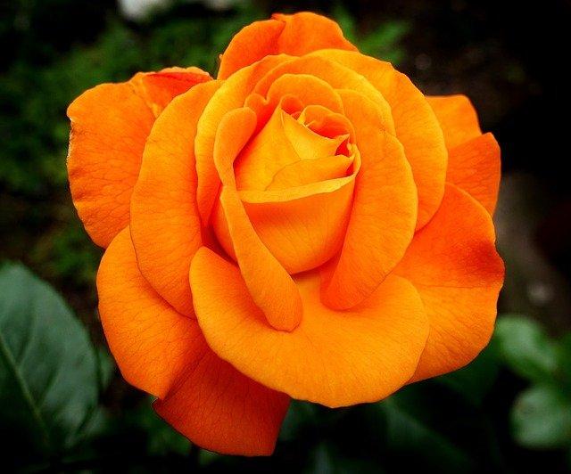 オレンジローズ