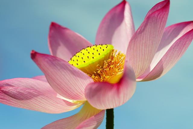 lotus-6272501_640