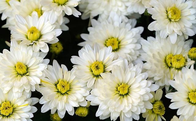 chrysanthemums-6488153_640