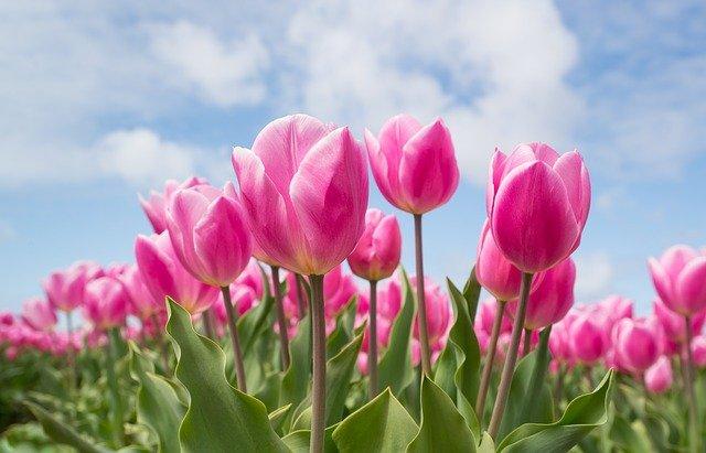 pink-2254970_640