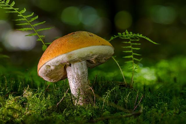 birch-mushroom-2638687_640