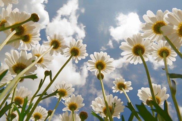 daisies-6293216_640