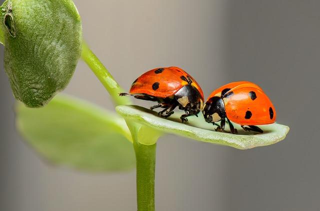 ladybugs-1593406_640